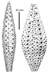 Gracilechinus acutus flemingii (ambulacral + interambulacral plates)