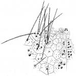 Argopatagus multispinus (aboral)