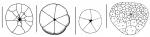 Fibulariidae (periproctal plates)
