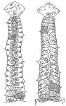 Saleniidae (ambulacral plates)