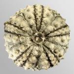 Diadema savignyi (aboral)