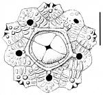Arbaciella elegans (apical system)