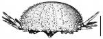 Arbaciella elegans (test, lateral)
