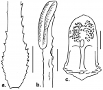 Habrocidaris scutata (spines and pedicellaria)