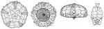 Habrocidaris scutata (coronal plating)