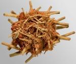 Stylocidaris affinis (oral)
