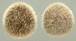 Echinocyamus pusillus (aboral + oral)