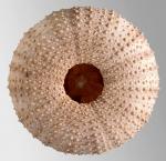 Echinus acutus (oral)