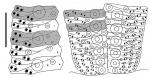 Echinus esculentus (ambulacral plates)
