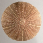 Echinus melo (aboral)