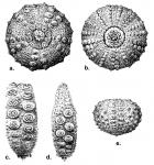 Aspidodiadema jacobyi (test)