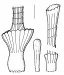 Centrostephanus longispinus (spines)