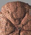 Hygrosoma petersii (aboral)
