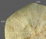 Sperosoma grimaldii (aboral, close-up)