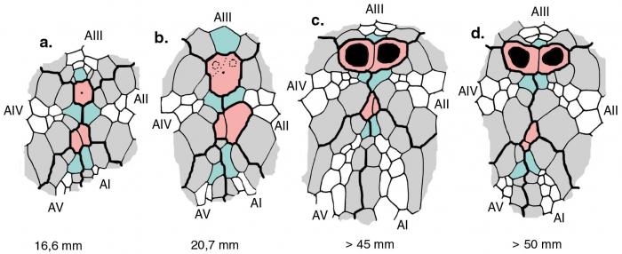 Echinosigra phiale (ontogeny of apical system)