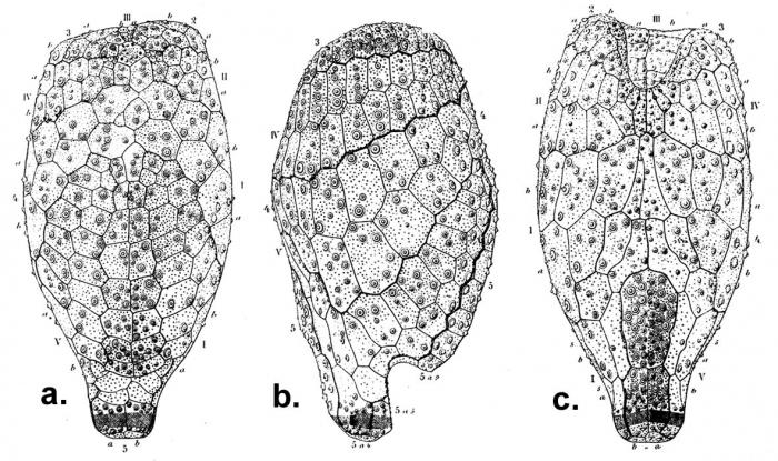 Pourtalesia jeffreysi (test)