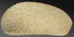 Urechinus naresianus (lateral)