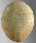 Palaeobrissus hilgardi (aboral)