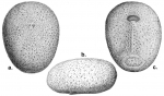 Palaeotropus josephinae (test)