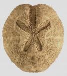 Brissopsis lyrifera (aboral)
