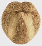 Brissopsis lyrifera (oral)