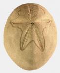 Brissus unicolor (aboral)