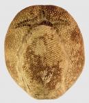 Brissus unicolor (oral)