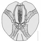 Echinocardium cordatum (aboral plating)