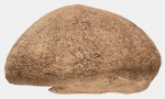 Spatangus raschi (lateral)