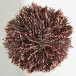 Sphaerechinus granularis (aboral)