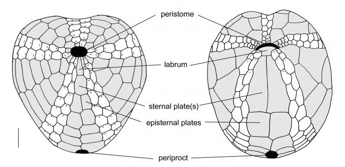 Atelostomata (oral plate pattern)