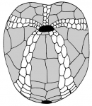 Atelostomata (oral)