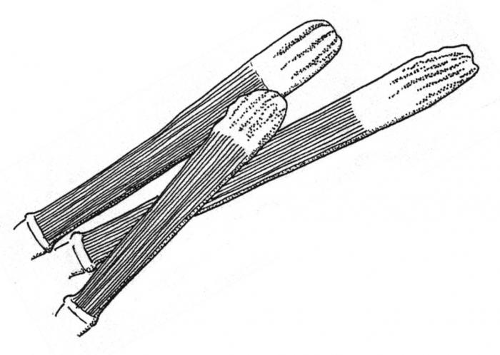 Arbacia punctulata (oral spines)
