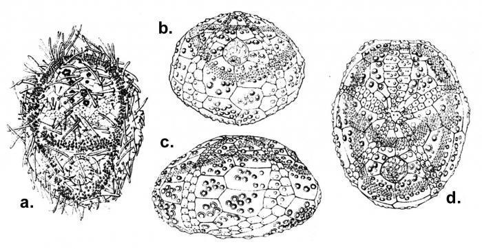 Abatus cavernosus (juvenile)