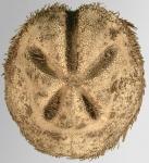 Abatus cavernosus (aboral)