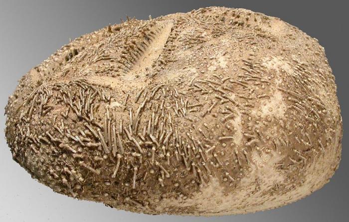 Abatus cavernosus (lateral)