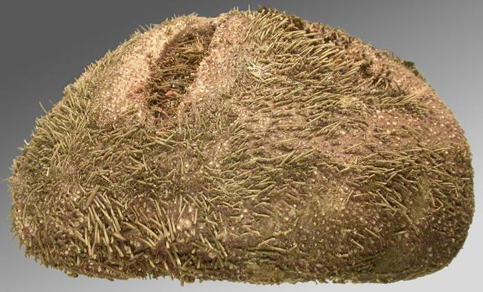 Abatus elongatus (lateral)