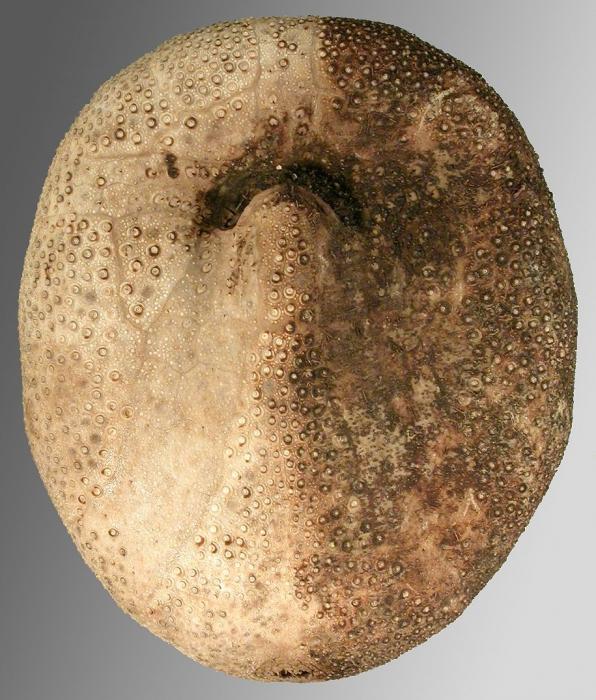 Abatus nimrodi (oral)