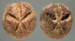 Abatus philippii (aboral)