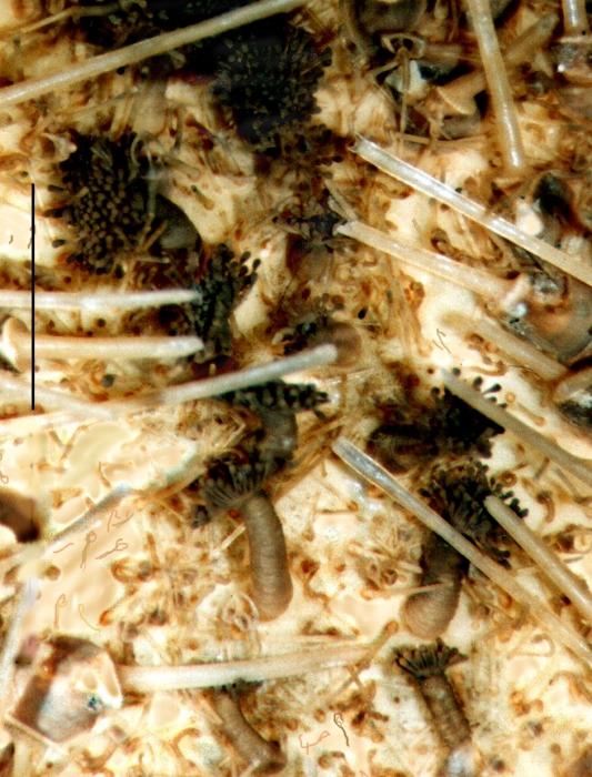 Amphipneustes bifidus (tube feet)