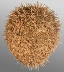 Amphipneustes bifidus (aboral)