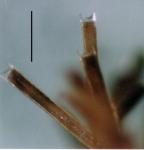 Amphipneustes bifidus (spines)