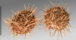 Amphipneustes lorioli (juveniles)