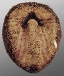 Amphipneustes lorioli (oral)