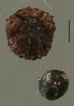 Amphipneustes lorioli (egg + embryo)