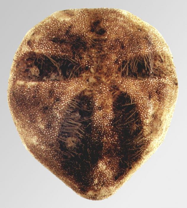 Amphipneustes marsupialis (aboral)