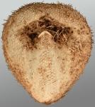 Amphipneustes rostratus (oral)
