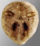 Amphipneustes rostratus (aboral)