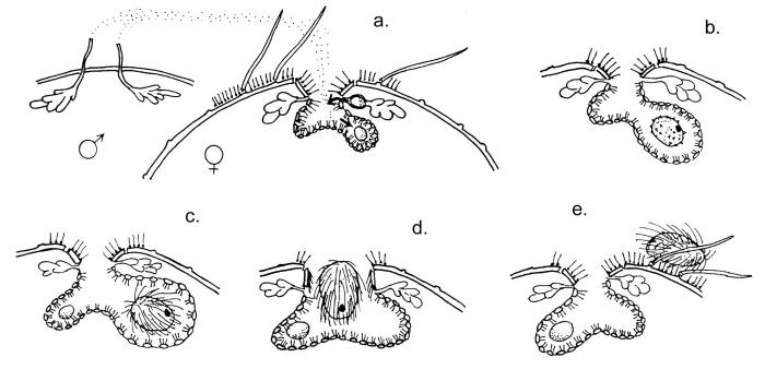 Antrechinus mortenseni (ontogeny)