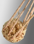 Austrocidaris spinulosa (lateral)